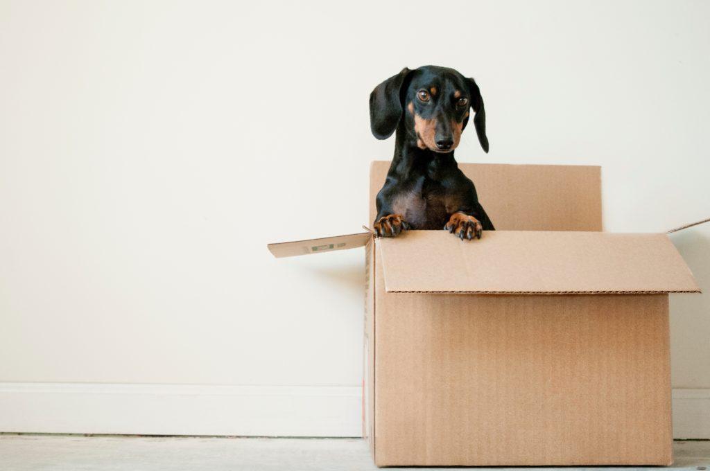 Petit chien dans un carton de déménagement